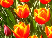 Magyarországon május első vasárnapján ünneplik az anyák napján. Kanadában erre  mindig egy héttel később kerül sor.