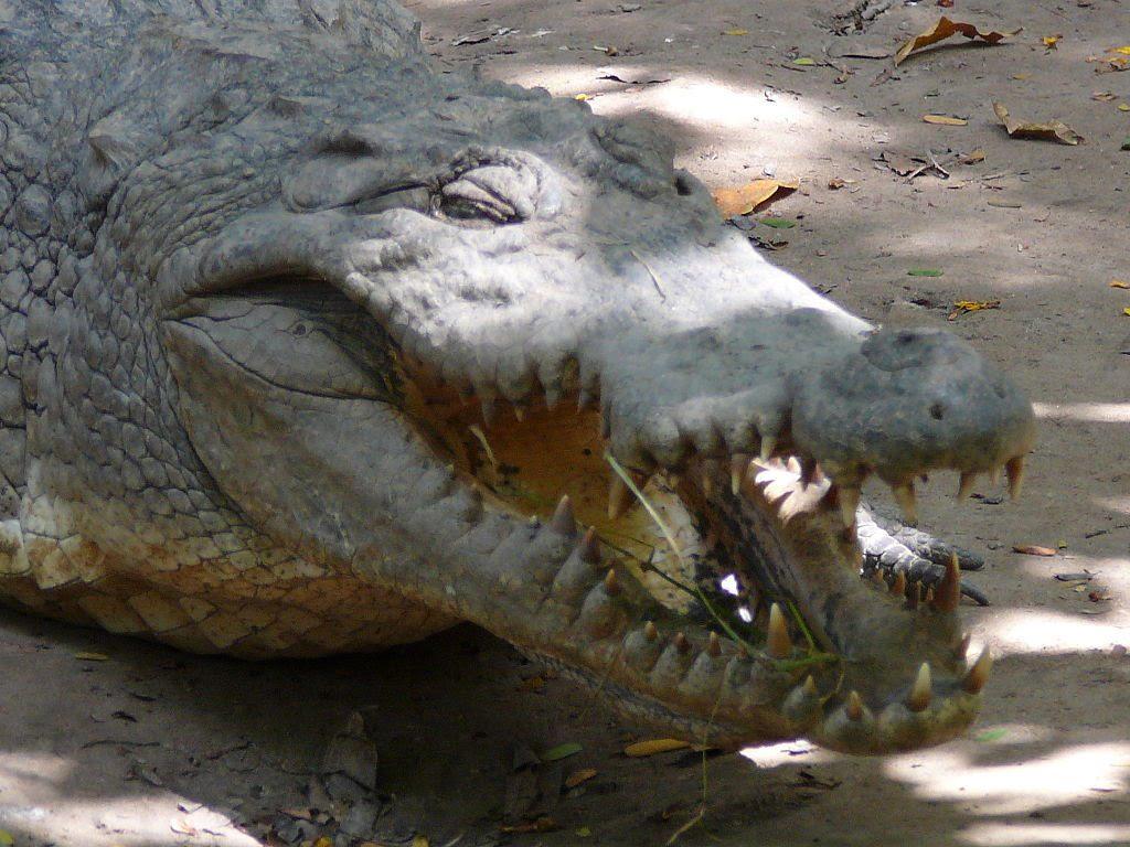 A foguk fehérje,  avagy a krokodil foga